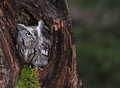Screech owl in stump a close up of an eastern megascops asio sitting a Stock Photo