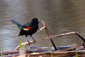 Screeching blackbird the red winged precariously balances itself on a fallen reed at the shore of a pond its bold orange and Stock Photos