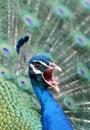 Screeching Peacock Royalty Free Stock Photos