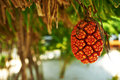 Screw Pine fruit or Pandanus Stock Photography