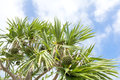 Screw pine tree with fruit under sky Royalty Free Stock Image
