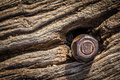 Screw in a tree bark closeup of an old rusted grunge wooden background Stock Photo