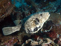Scribbled Puffer Fish (Arthron mappa) Stock Images