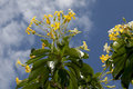 Scrub bright yellow flowering against blue sky Royalty Free Stock Images