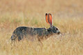 Scrub hare lepus saxatilis among grass etosha national park namibia Stock Photos