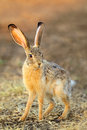 Scrub hare lepus saxatilis in natural habitat south africa Stock Photo