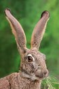 Scrub hare portrait Stock Photos