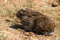 Scrub hare vlakhaas lepus capensis in kruger national park south africa Stock Images