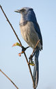 Scrub jay bird Royalty Free Stock Images
