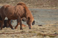 Scruffy chestnut icelandic horse looking on a farm in iceland Royalty Free Stock Photo