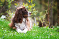 Scruffy dog english springer spaniel outdoors on green grass Stock Images