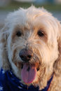 Scruffy, the Goldendoodle dog with his flag scarf and tongue out at the beach. Royalty Free Stock Photo