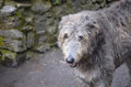 Scruffy Looking Irish Wolfhound Dog Royalty Free Stock Photo