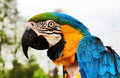 Scruffy parrot blue and gold macaw parrots head taken at the trpical bird garden desford leicester Stock Photography