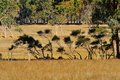 Scruffy shrubs line of small spindly on fence line between fields of dry pasture Stock Photos