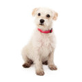 Scruffy white puppy with pink collar Royalty Free Stock Photo