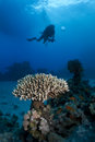 Scuba diver and Acropora coral Royalty Free Stock Photo