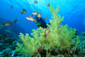 Scuba Diver on coral reef Stock Images