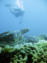 Scuba diver and green sea turtle Stock Photos