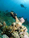 Scuba diver over coral reef in red sea Stock Photography
