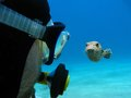 Scuba diver and pufferfish Royalty Free Stock Images