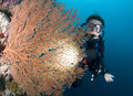 SCUBA Diver and red sea fan Royalty Free Stock Image