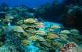 Scuba Diver and School of Fish - Cozumel Mexico Royalty Free Stock Photos