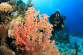 Scuba Diver and Soft Corals Stock Image