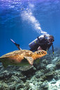 Scuba diver swimming with turtle Royalty Free Stock Images