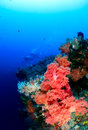 Scuba divers and colorful soft corals on a deep tropical reef wall Stock Photo