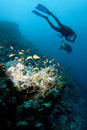 Scuba divers swim over reef Stock Photo