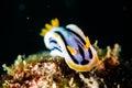 Scuba diving lembeh indonesia chromodoris elizabethina nudibranch diver Stock Image