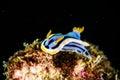 Scuba diving lembeh indonesia chromodoris elizabethina nudibranch underwater Royalty Free Stock Photo