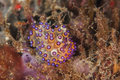 Scuba diving lembeh indonesia janolus nudibranch underwater diver Royalty Free Stock Photography