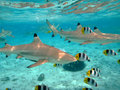 Scuba diving with sharks a blacktip reef shark chasing butterfly fish in the shallow clear water of the lagoon of bora bora an Royalty Free Stock Images