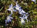 Scylla Siberian closeup. Little blue flowers. White-blue snowdrops. Royalty Free Stock Photo