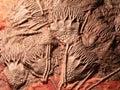 Scyphocrinites elegans (Sea lily), natural sculpture Royalty Free Stock Photo