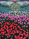 The sea of tulips Royalty Free Stock Photo