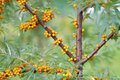 Sea ​​buckthorn berries buckthorn shrub with ripe orange Stock Photo