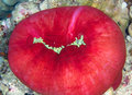 Sea anemone magnificent heteractis magnifica in the red egypt Stock Photography