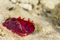 Sea anemone red in the pacific ocean off the coast of kaikoura new zealand Stock Photo