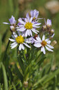 Sea Aster Royalty Free Stock Photo