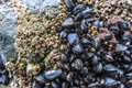 Sea barnacles and mussels Royalty Free Stock Photo