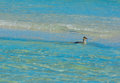 A Sea Bird looking for food in the shallow surf. Royalty Free Stock Photo