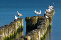 Sea birds on wooden poles Royalty Free Stock Photos