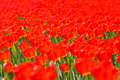 Sea of bright red tulips Royalty Free Stock Images