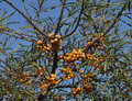 Sea Buckthorn Royalty Free Stock Photography