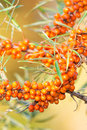 Sea buckthorn berries on a branch packed with Royalty Free Stock Photos