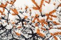 Of sea buckthorn berries on a branch under a snow hat.Winter food for birds Royalty Free Stock Photo