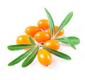 Sea buckthorn berries isolated on the white background Stock Photos